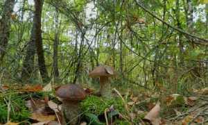 funghi boletus